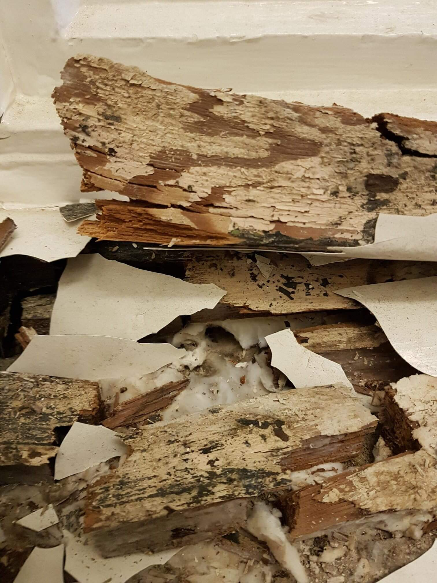 True Dry Rot Fungus (Serpula lacrymans)